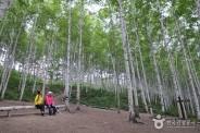 인제 원대리 자작나무 숲