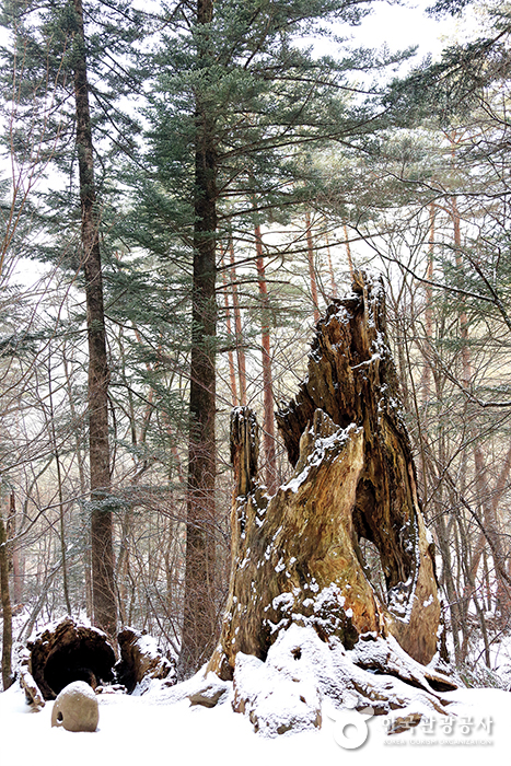 월정사 전나무 숲길에서 만나는 부러진 고목