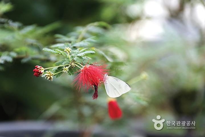 흰 나비가 빨간 꽃위에 앉았다