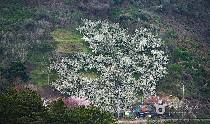 고리산 배밭농원의 배꽃