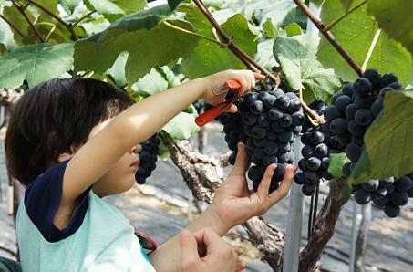 순수 국내산 과실주 와인과 함께 즐기는 영동포도축제