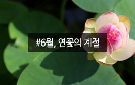 6월은 고요한 연꽃의 향연이 벌어진다.