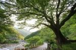 하동 범왕리 푸조나무