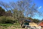 인곡리모과나무