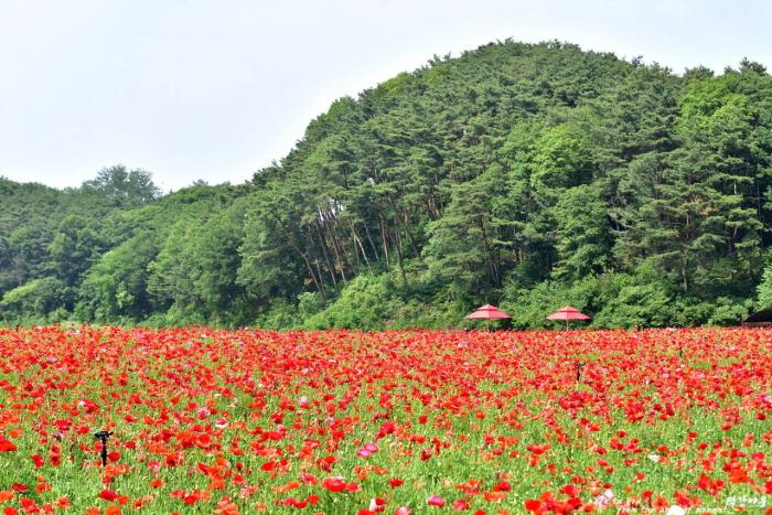 원주 용수골꽃양귀비축제 2020