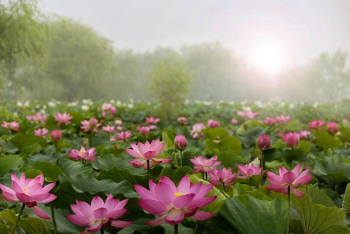 부여서동연꽃축제 2020