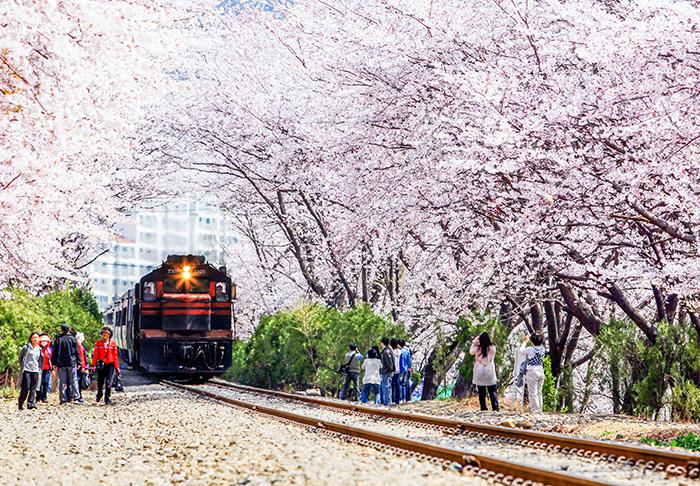 ทางรถไฟดอกซากุระ
